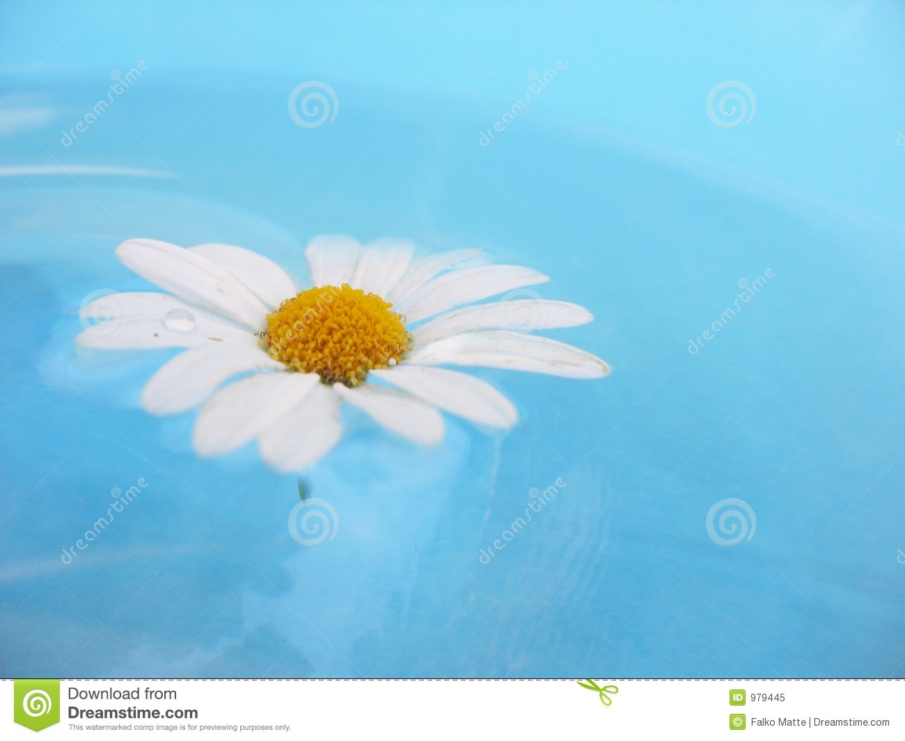 White Daisy on Blue Background