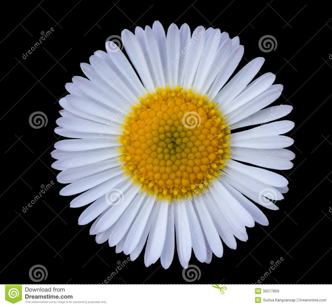 White Daisy Royalty Free Stock Images - Image: 30577809