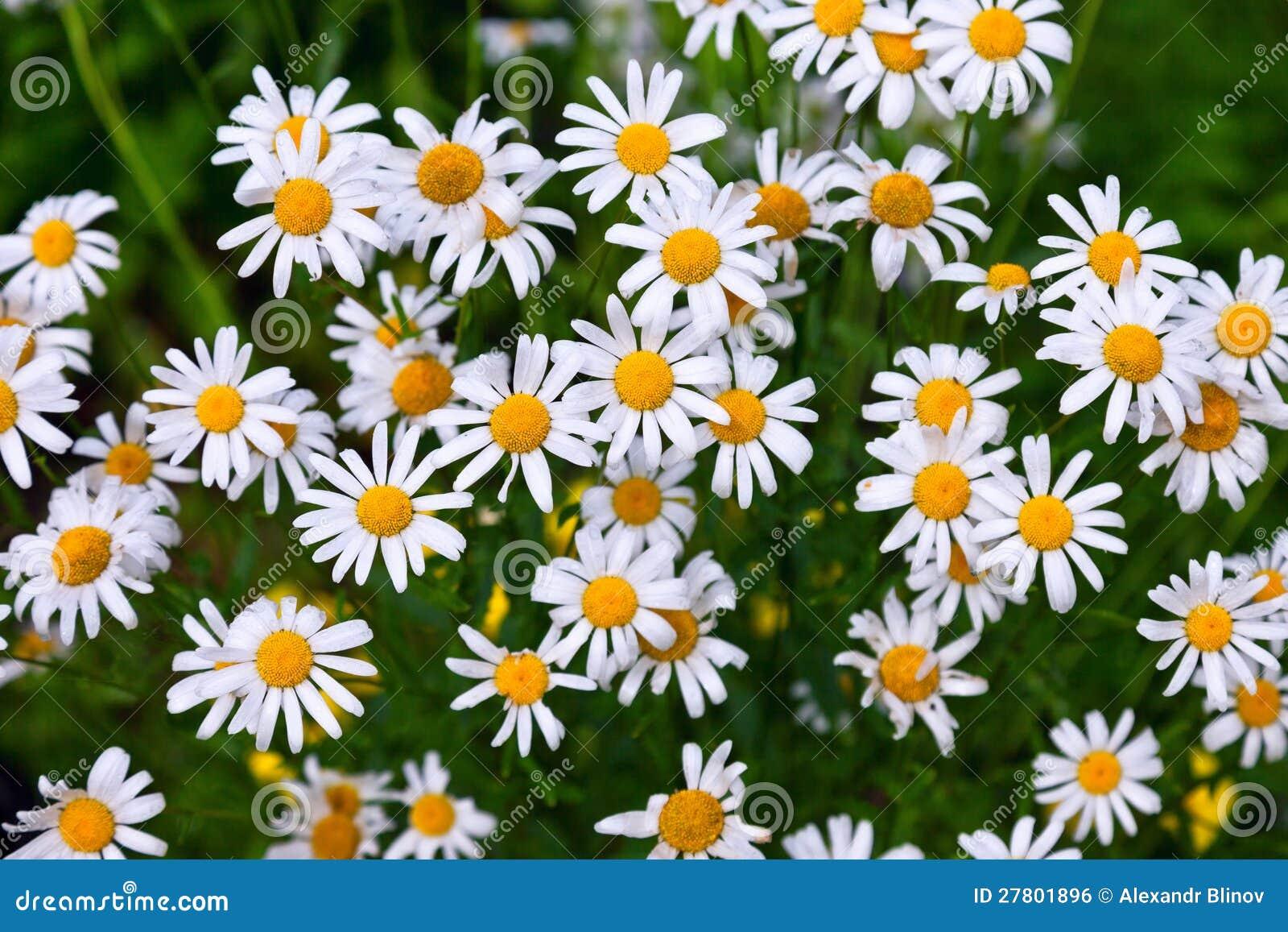 White Daisy Family Herbal Flowers Stock Photo Image Of Green