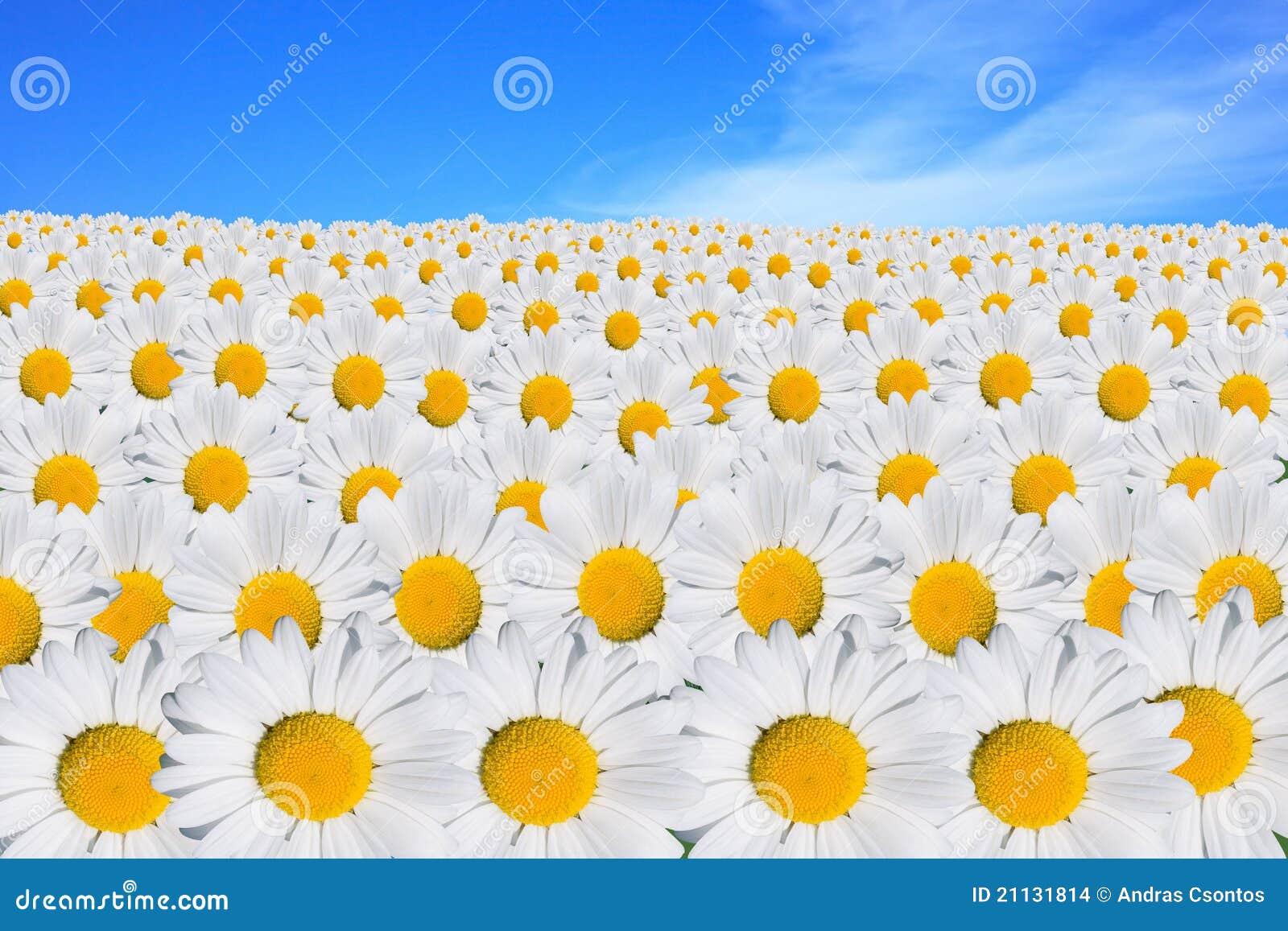 daisy field mountain sky - photo #31