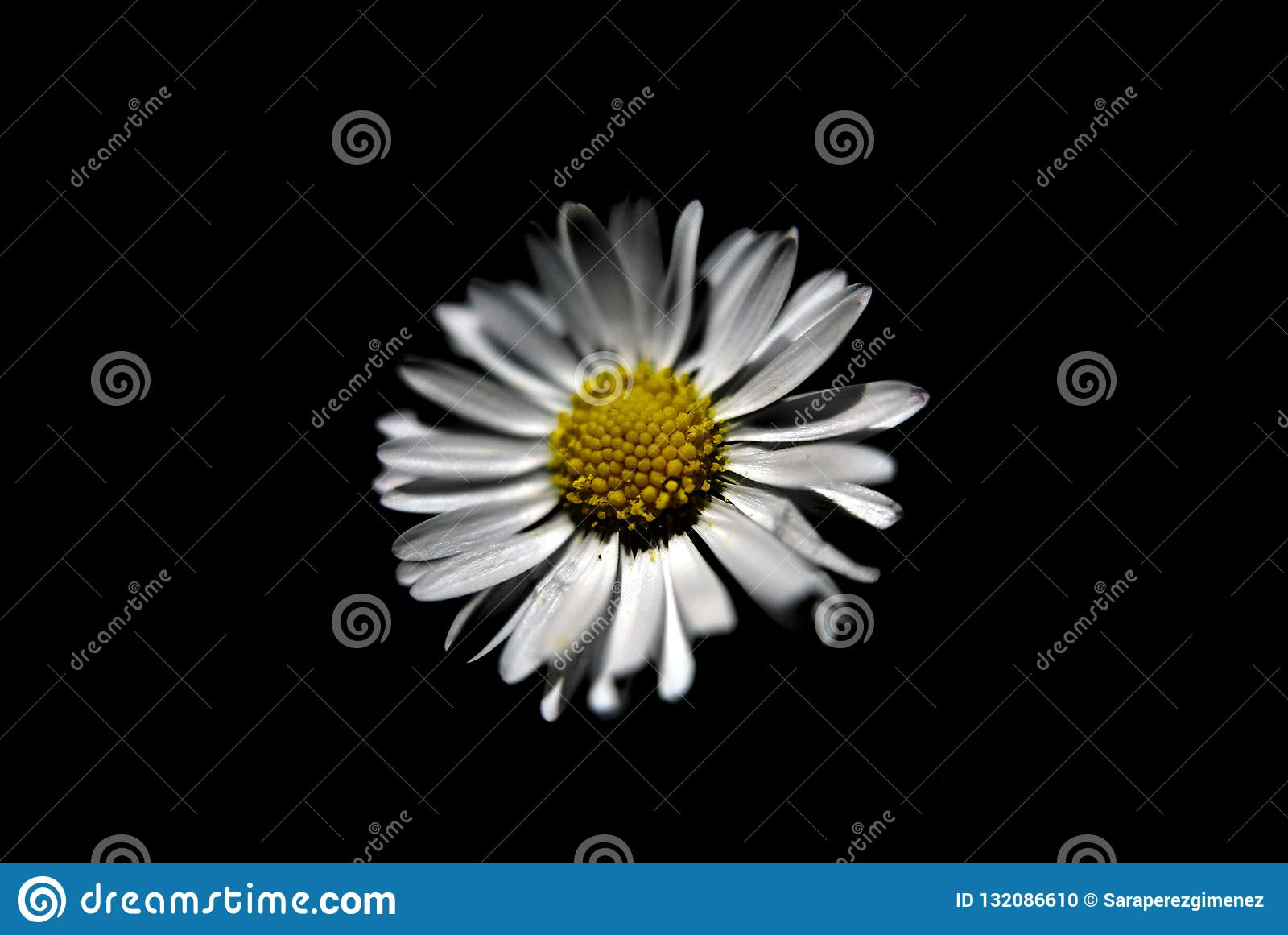 White Daisy Flower With Black Background Stock Photo Image Of