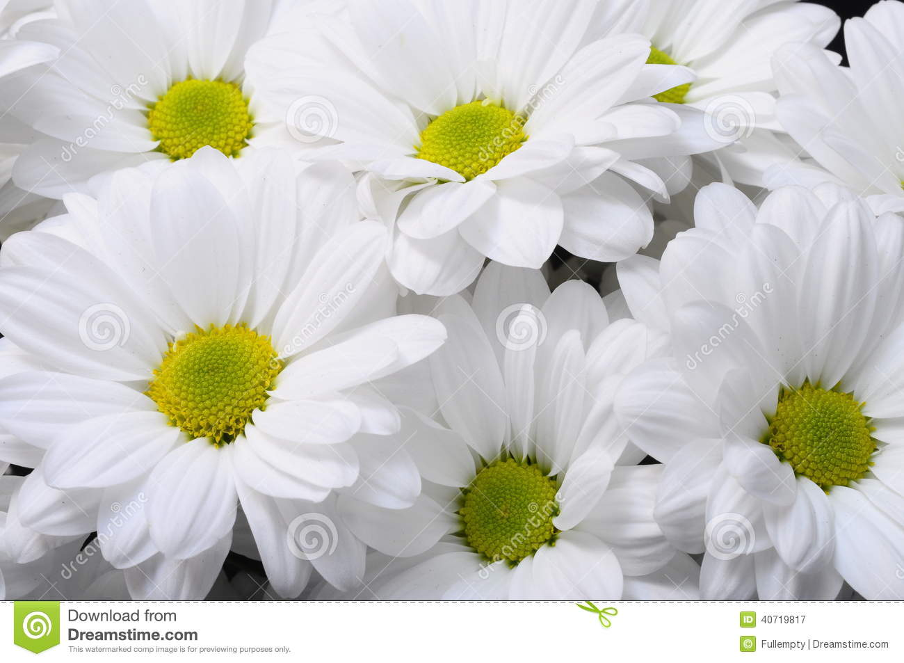 White Daisy Flower Bouquet Stock Image Image Of Nature 40719817