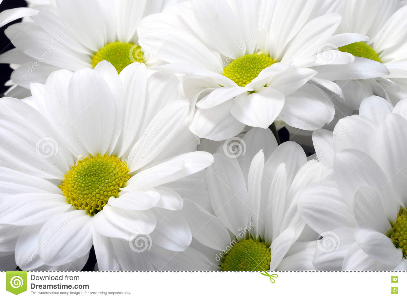 White Daisy Flower Bouquet Stock Photo Image Of Nature 72098142