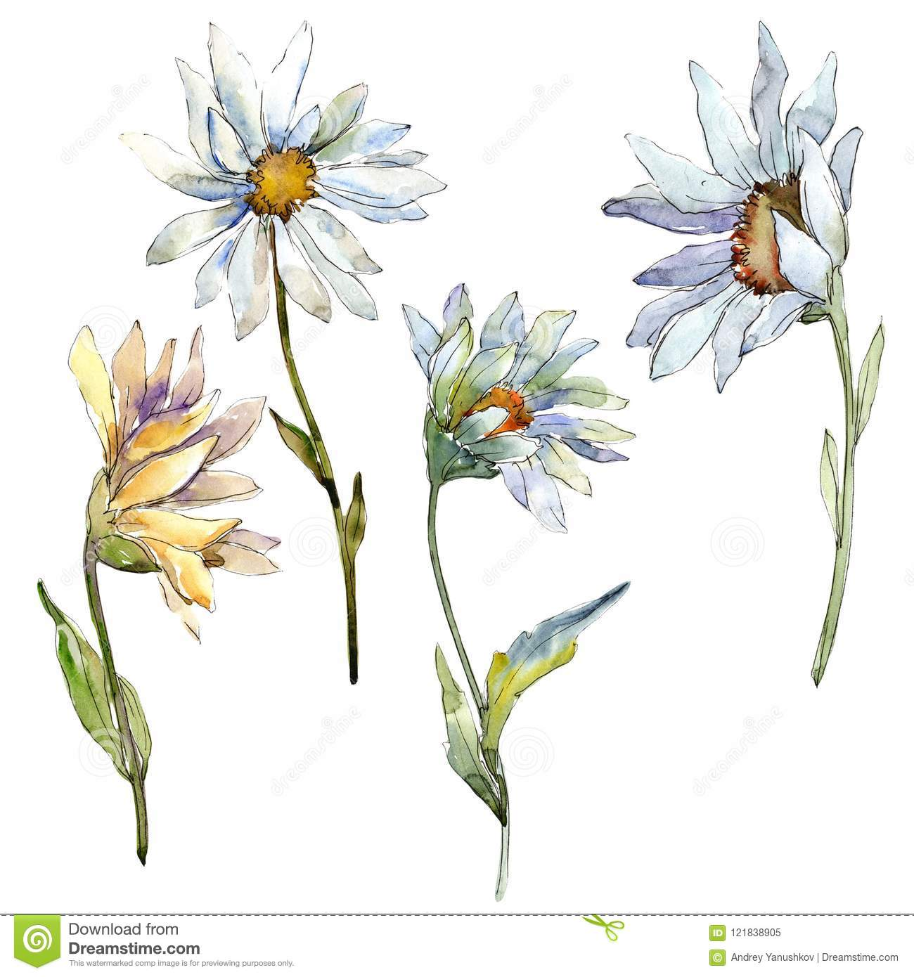 White daisy flower. Floral botanical flower. Isolated illustration element.