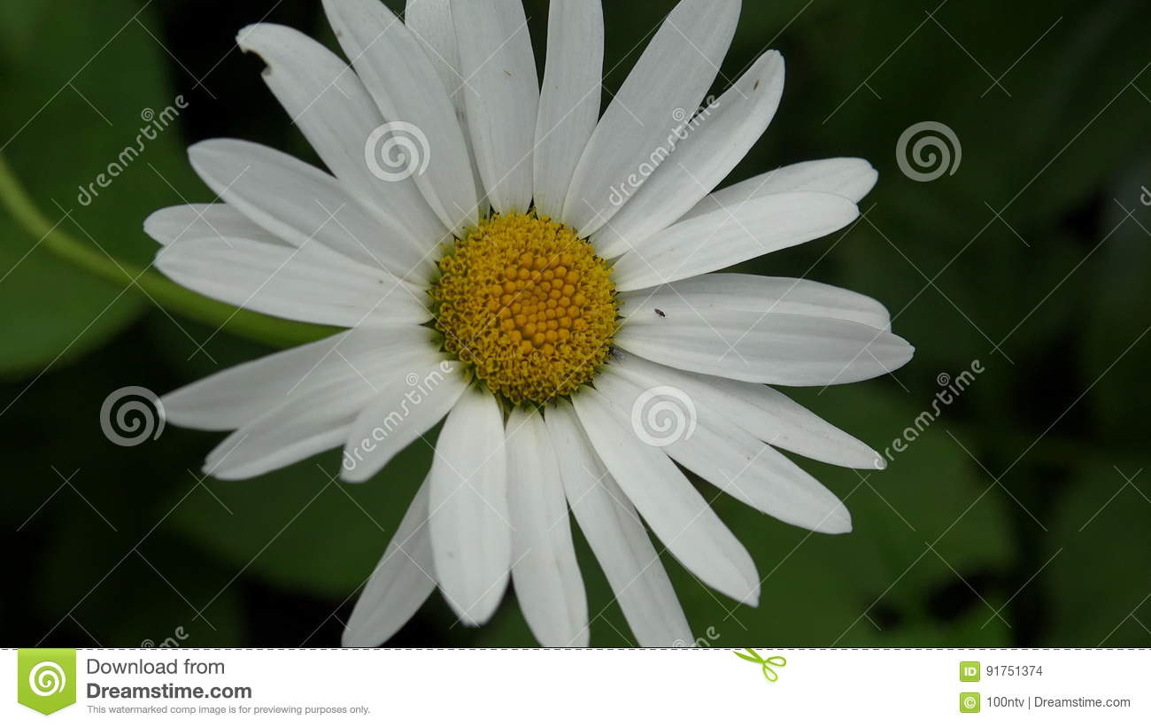 White Daisy Flower 4k Stock Footage Image Of Summer 91751374