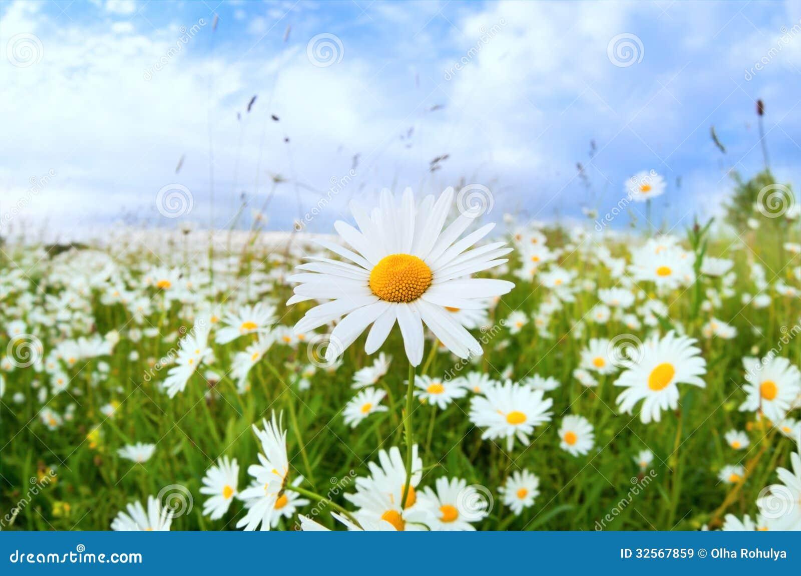 daisy field mountain sky - photo #9