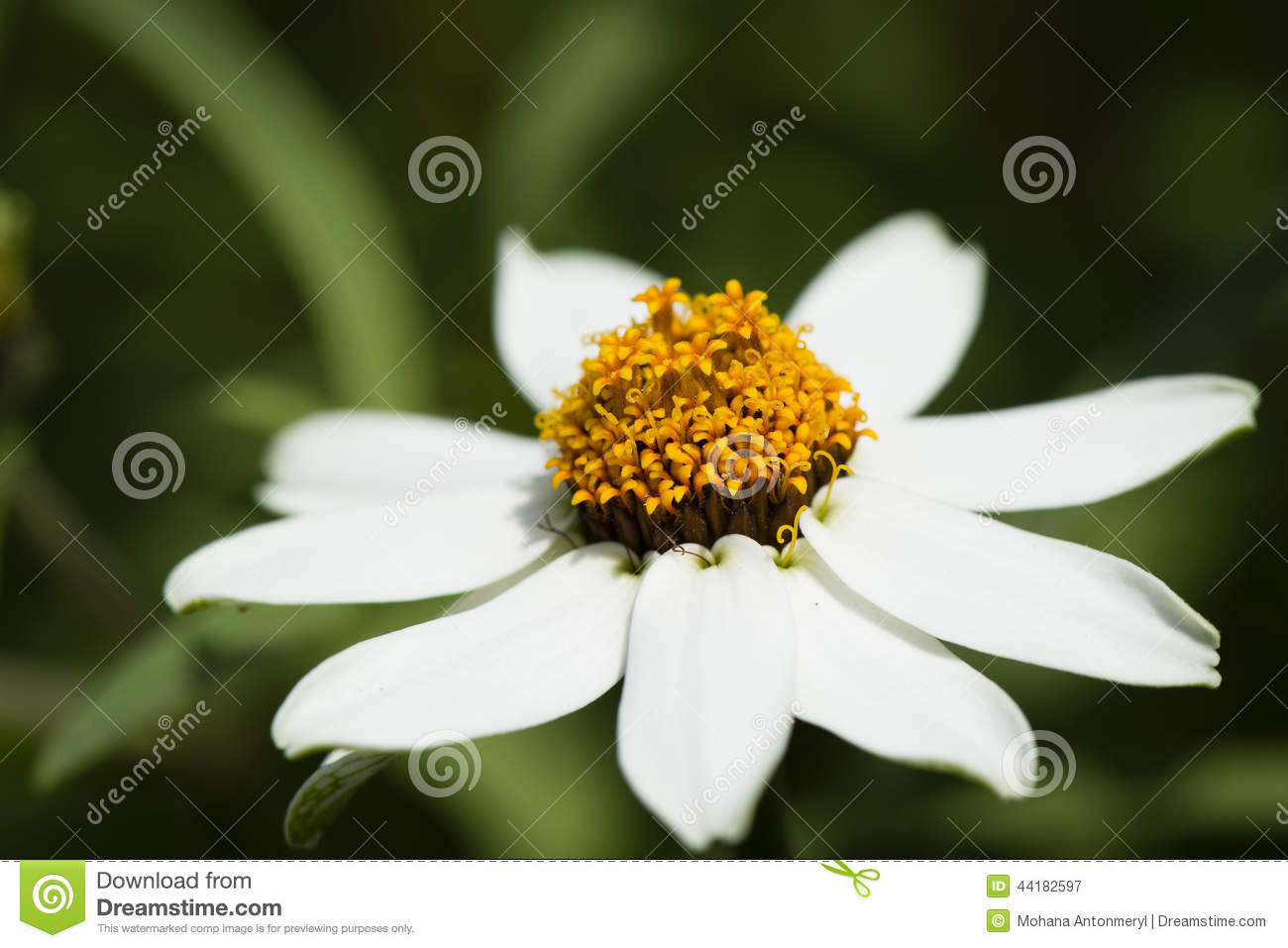 White Daisy Flower On A Spring Meadow Stock Image Image Of