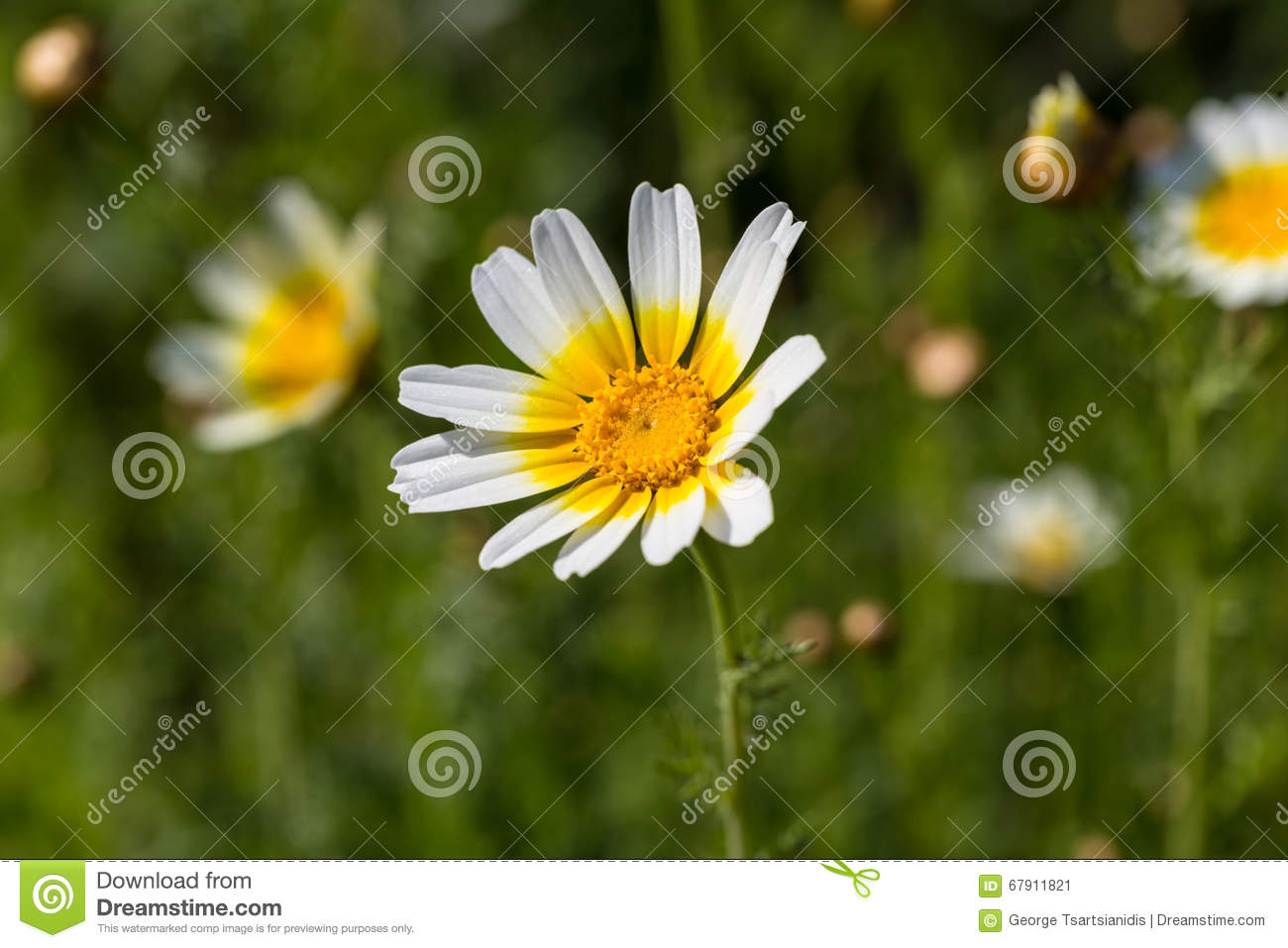 White Daisy Flower With Yellow Center Stock Image Image Of Color