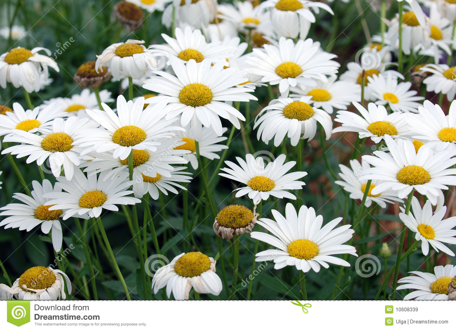 Tumblr Flowers Daisy Comousar