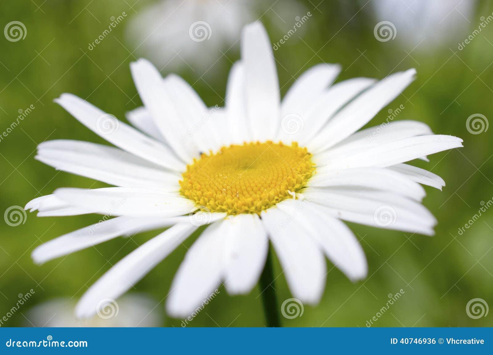White Daisy Like Chamomile Flower Stock Photo Image Of Petals