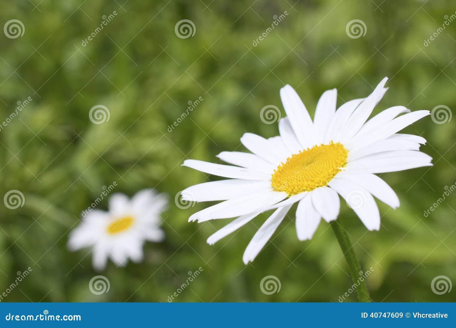 White Daisy Like Chamomile Flower Stock Image Image Of Floral