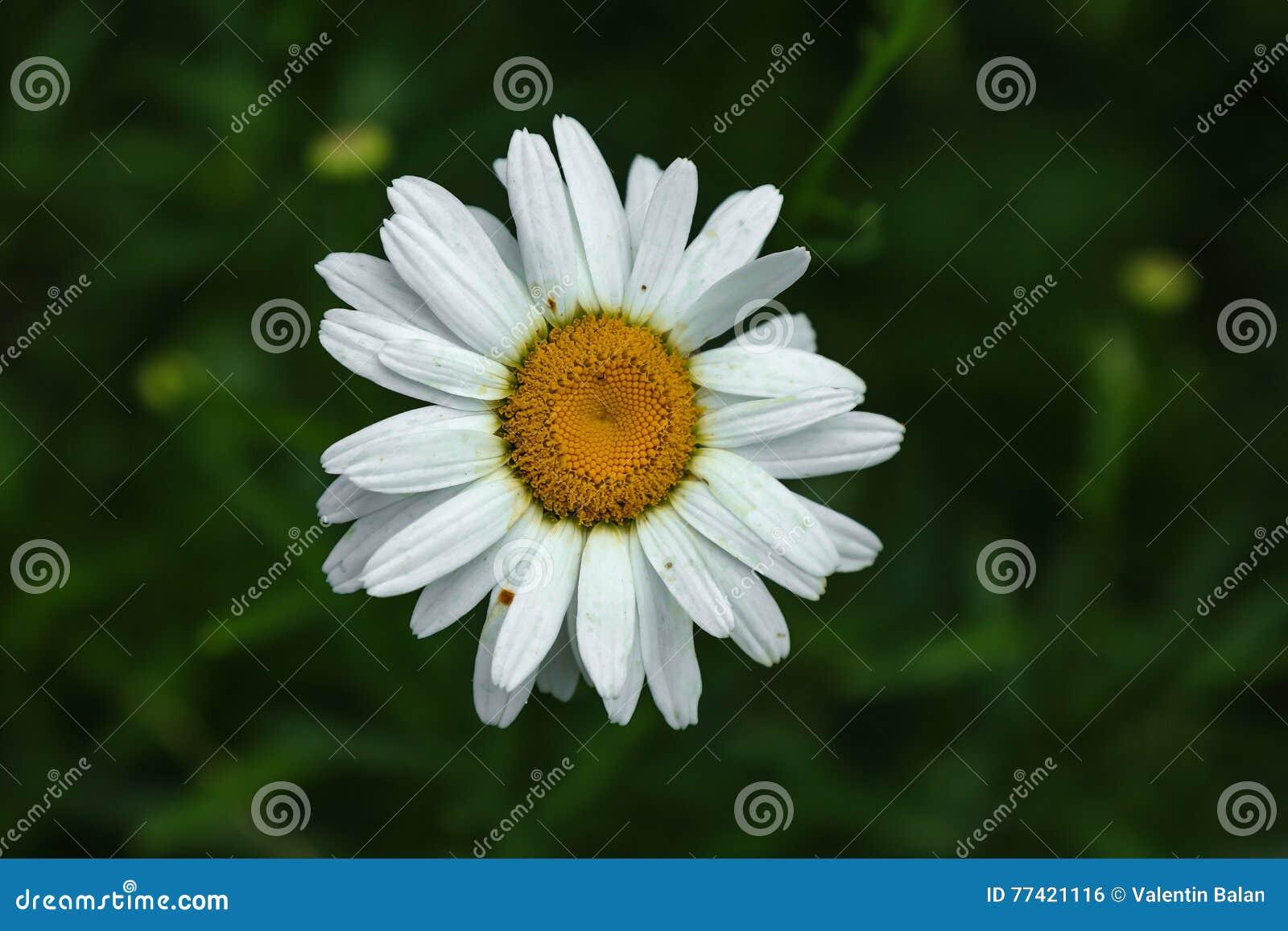 White Daisy Like Chamomile Flower Stock Photo Image Of Plant