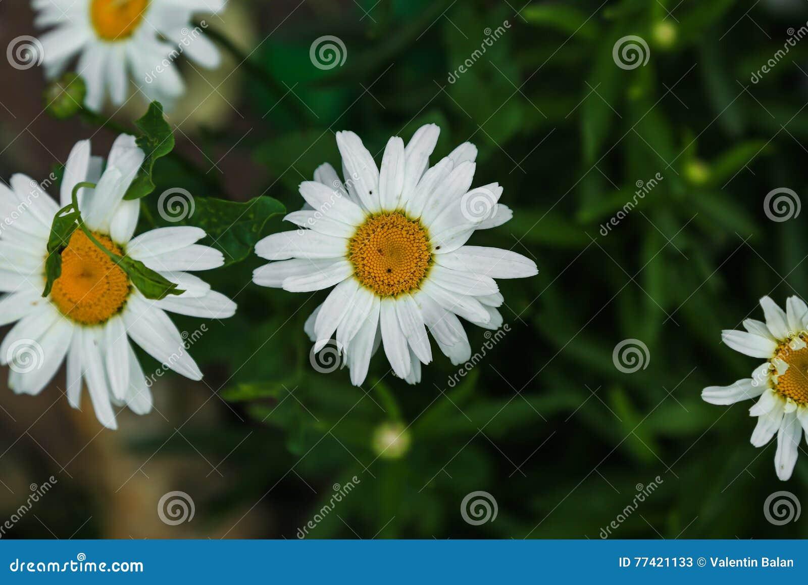 White daisy like chamomile flower stock image image of daisy download comp izmirmasajfo
