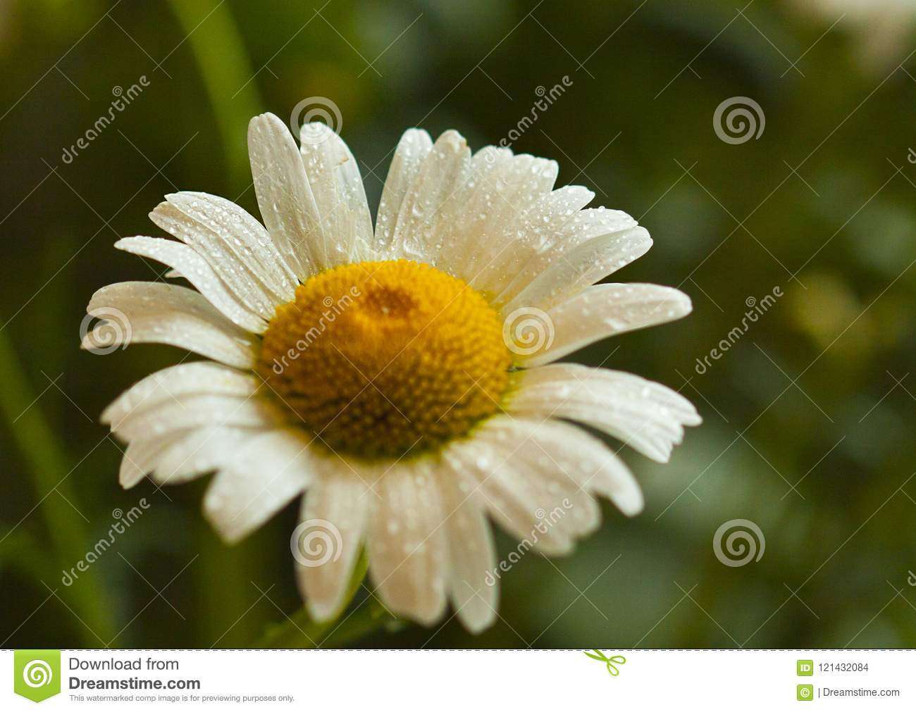 White Daisy Petal After Rain Stock Photo Image Of Lettuce