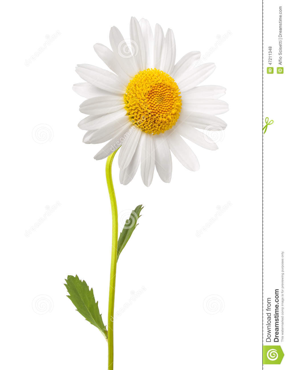 white daisy stock photo image 47211348 carnation clipart images carnations clip art black white
