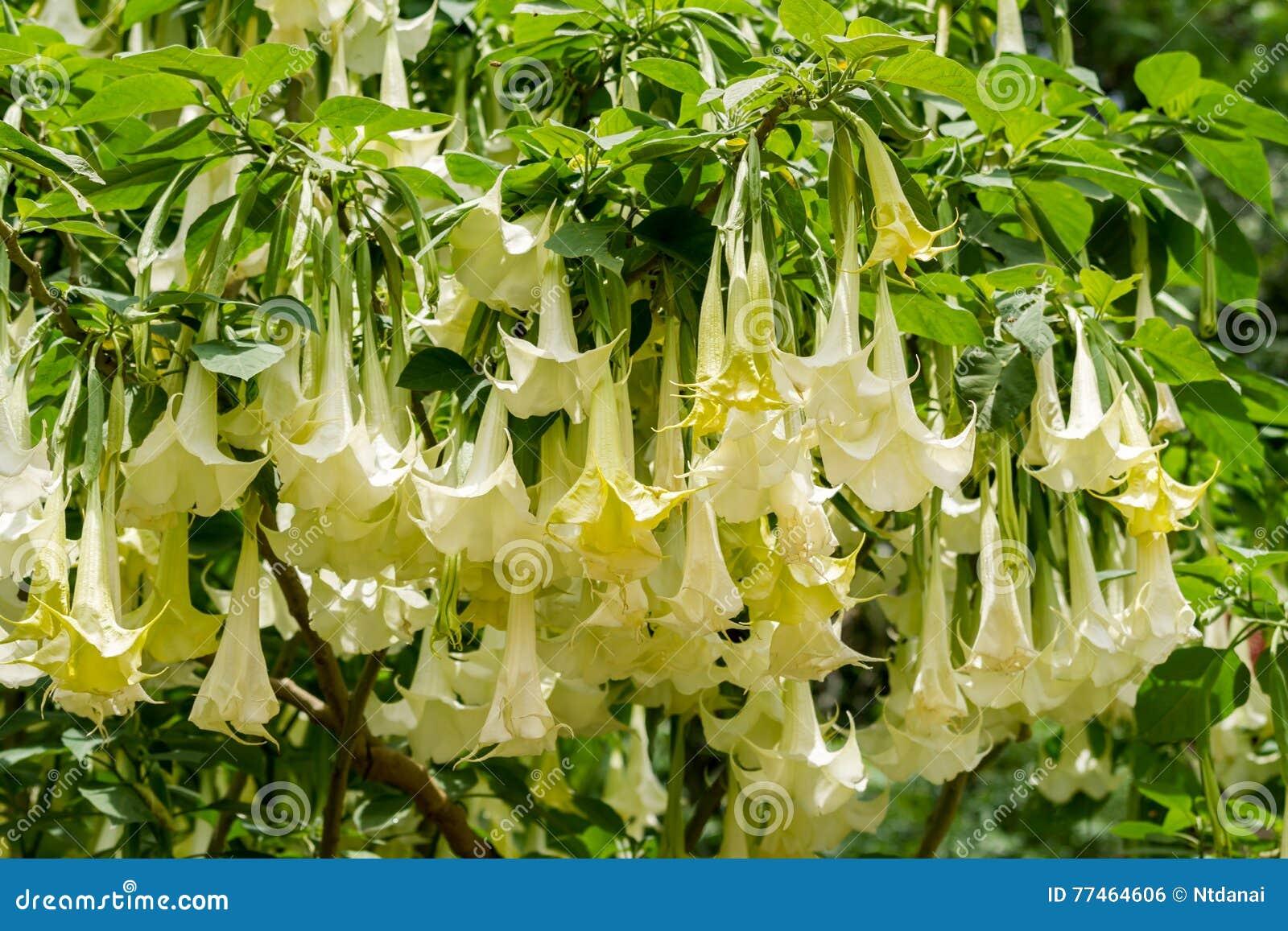 White Datura Flower Stock Photo Image Of Poisonous Nobody 77464606