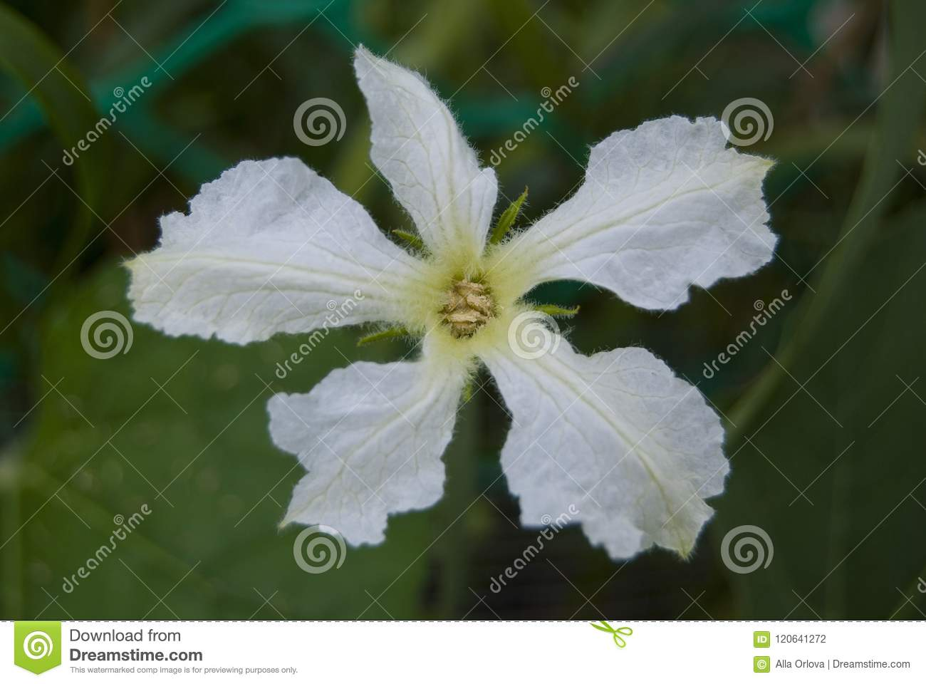 A White Delicate Flower Of Vegetable Lagenaria Stock Photo Image