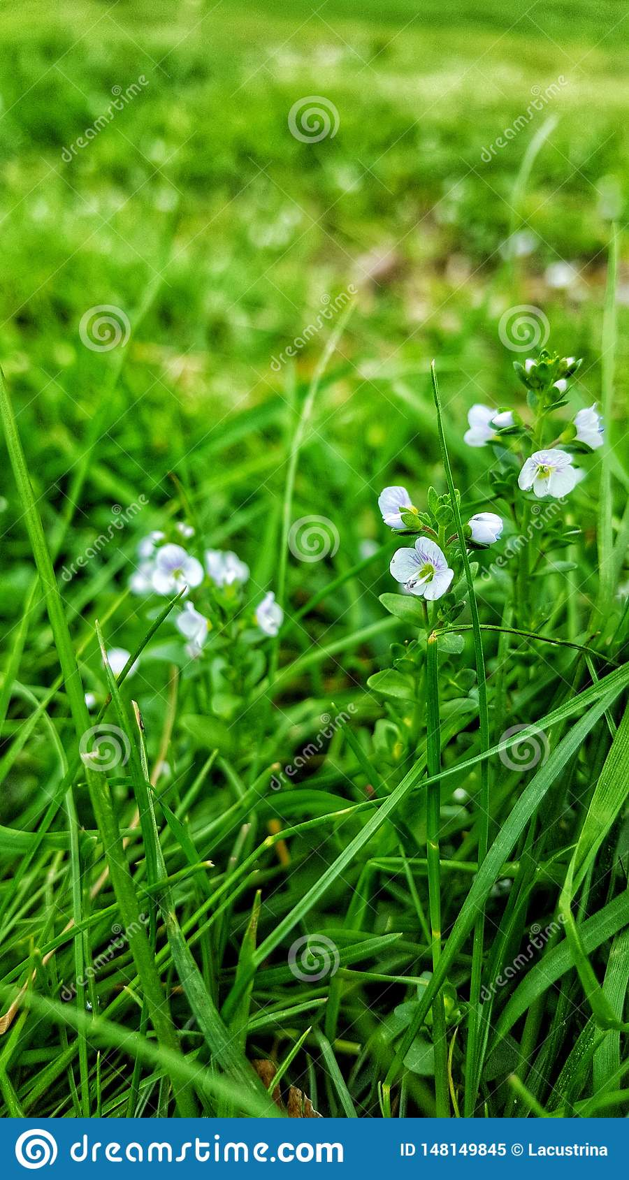 White delicate flowers on a field.