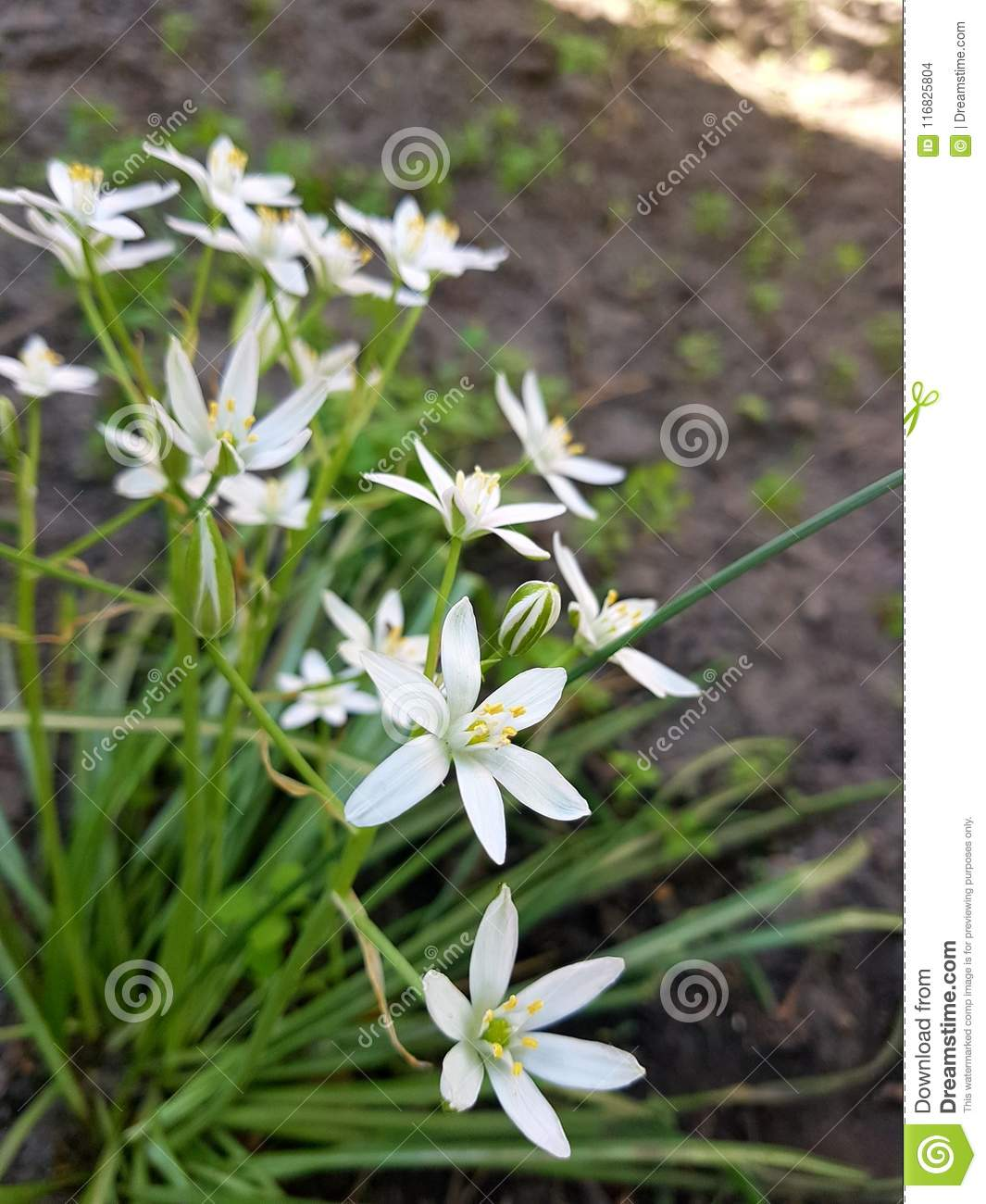 White Delicate Flowers On A Long Green Stem With Green Thin Long