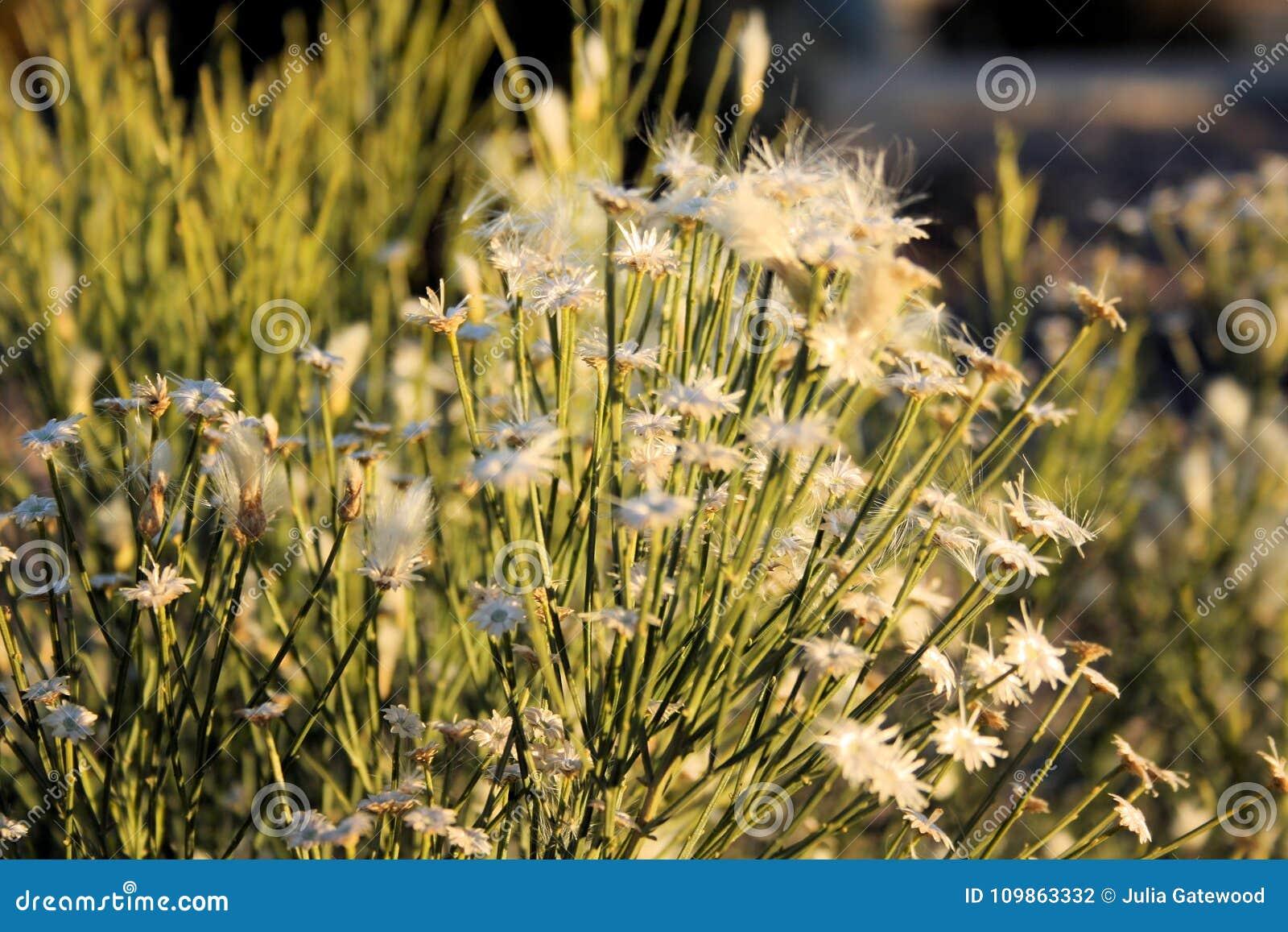 White Desert Flowers Stock Photo Image Of Round First 109863332