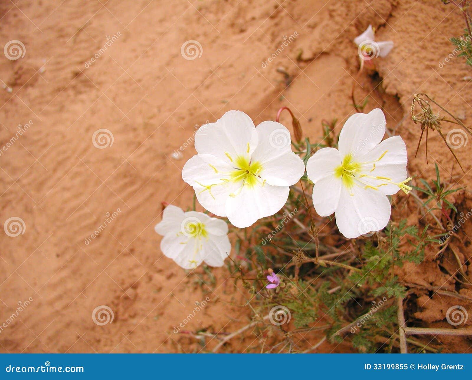 White Desert Flowers Stock Image Image Of Arid Nature 33199855