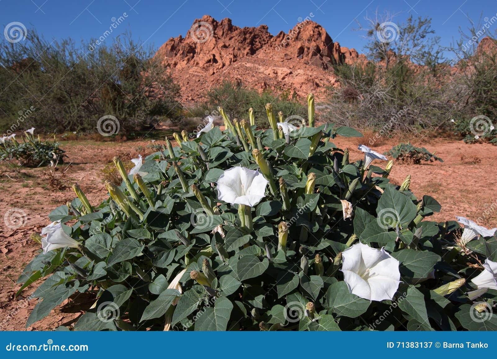 White Desert Flowers Stock Image Image Of Vegetation 71383137