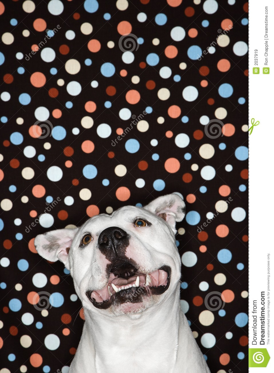 White dog against polka dot background.