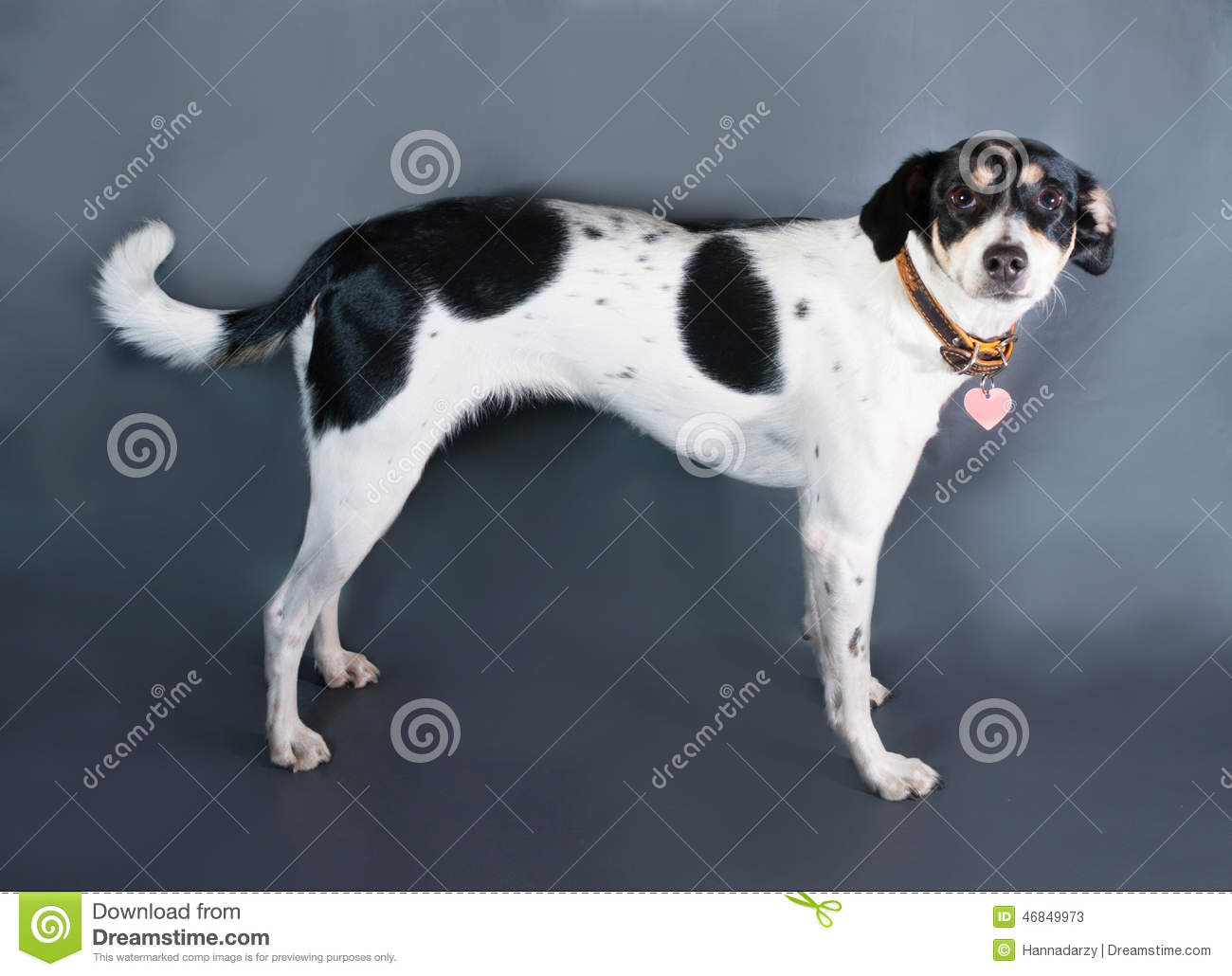 White dog with black spots standing on black