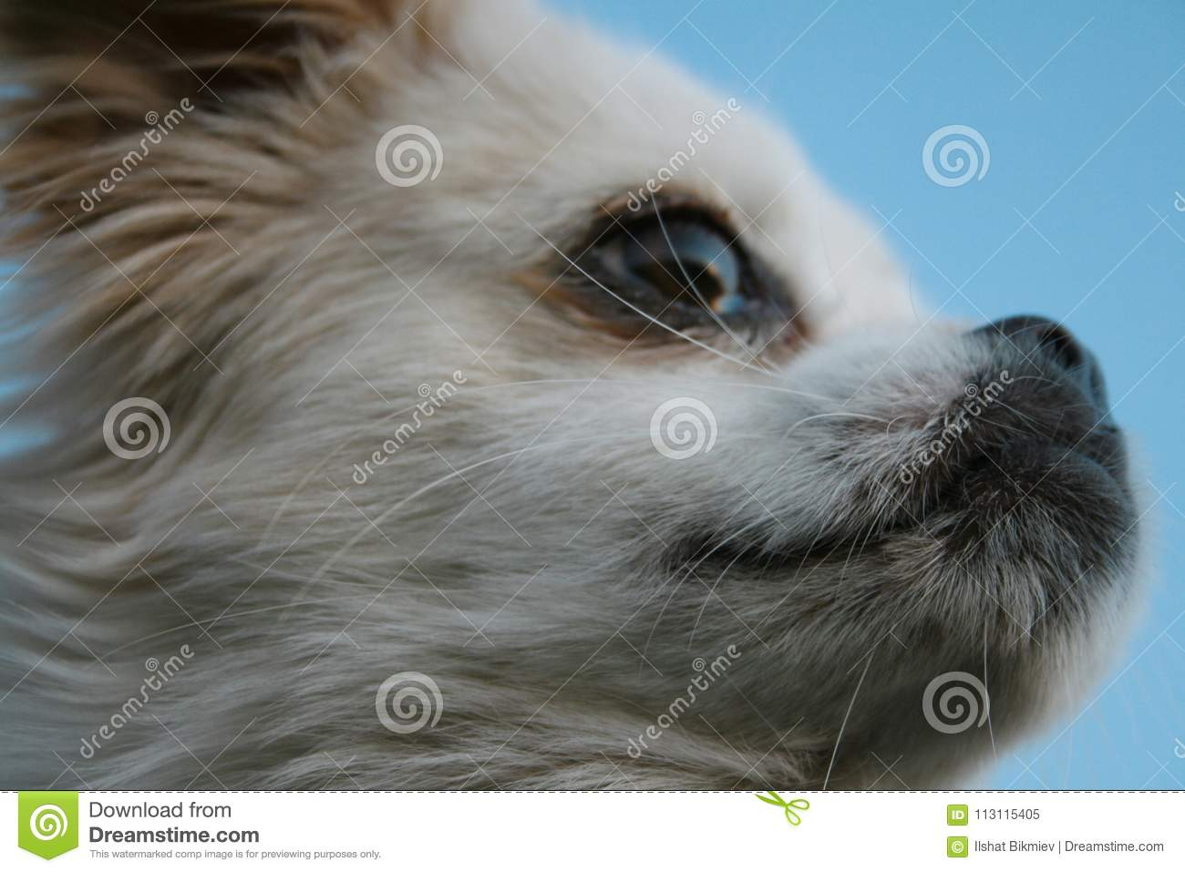 White dog on blue background looking off into the distance.