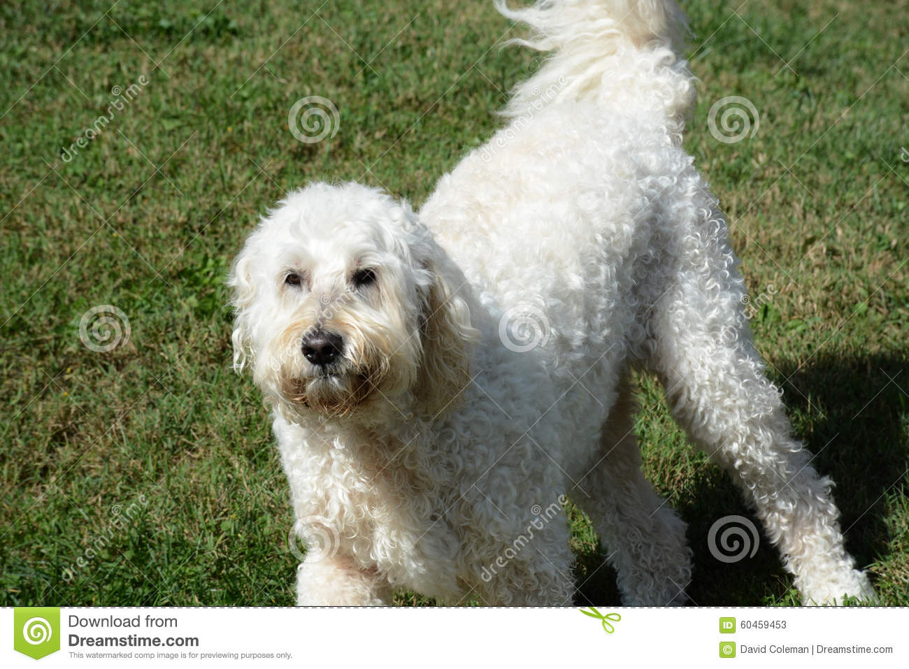White Dog Stock Image Image Of Canine Hair Labradoodle