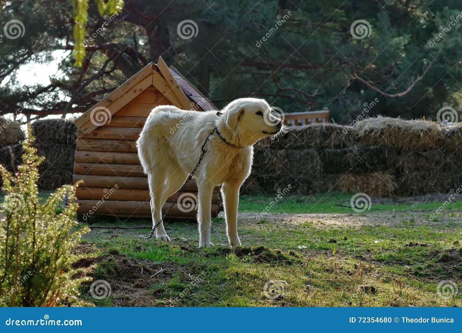 White dog. Guard dog