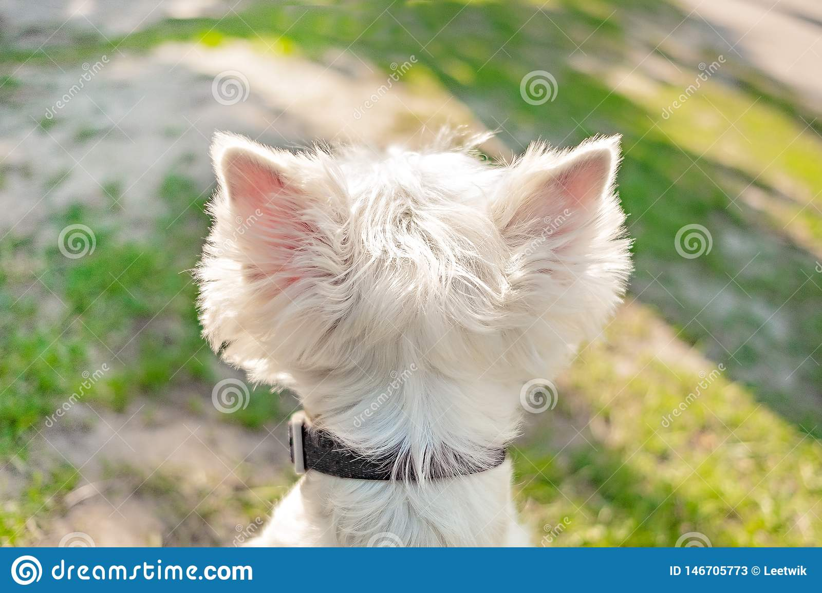 Head of a white fluffy dog with large triangular protruding ears