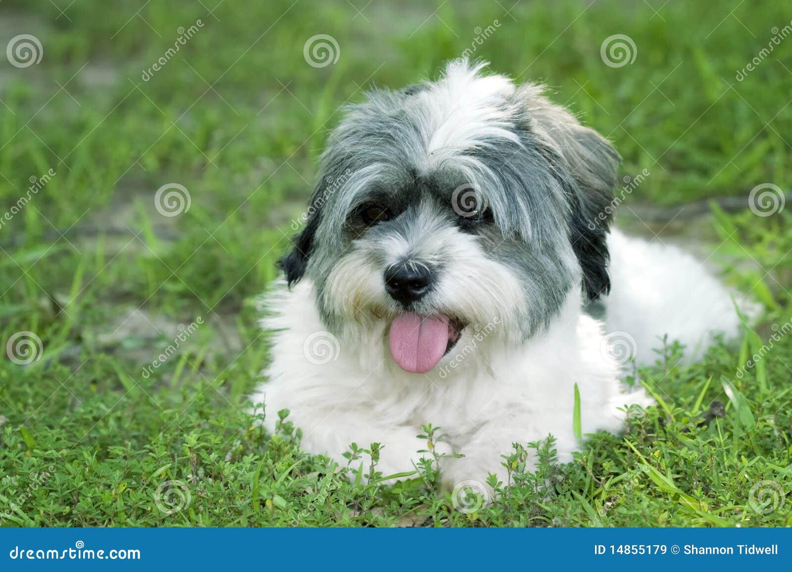 White dog layin in grass