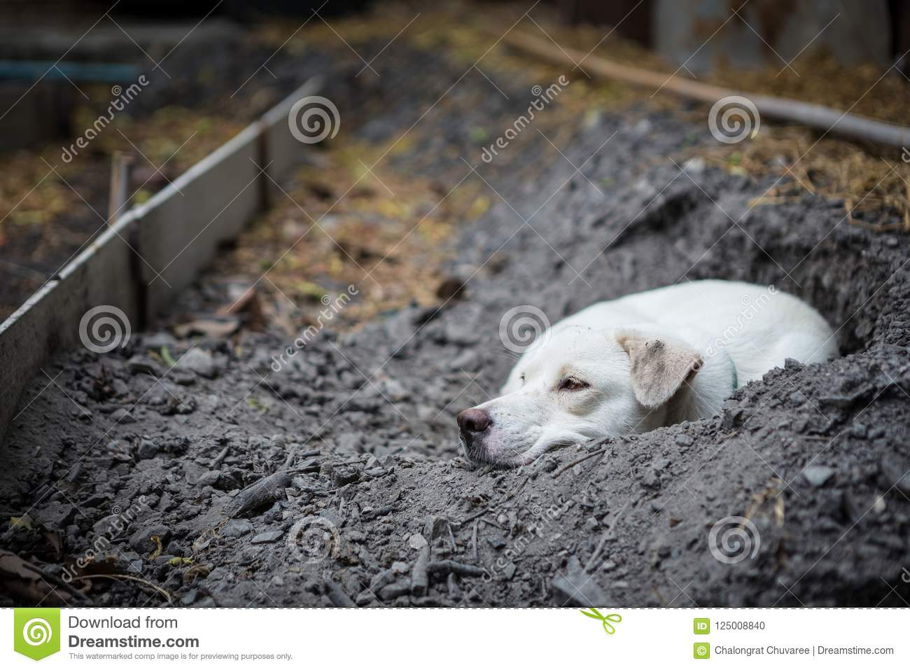 White dog lying in the hole