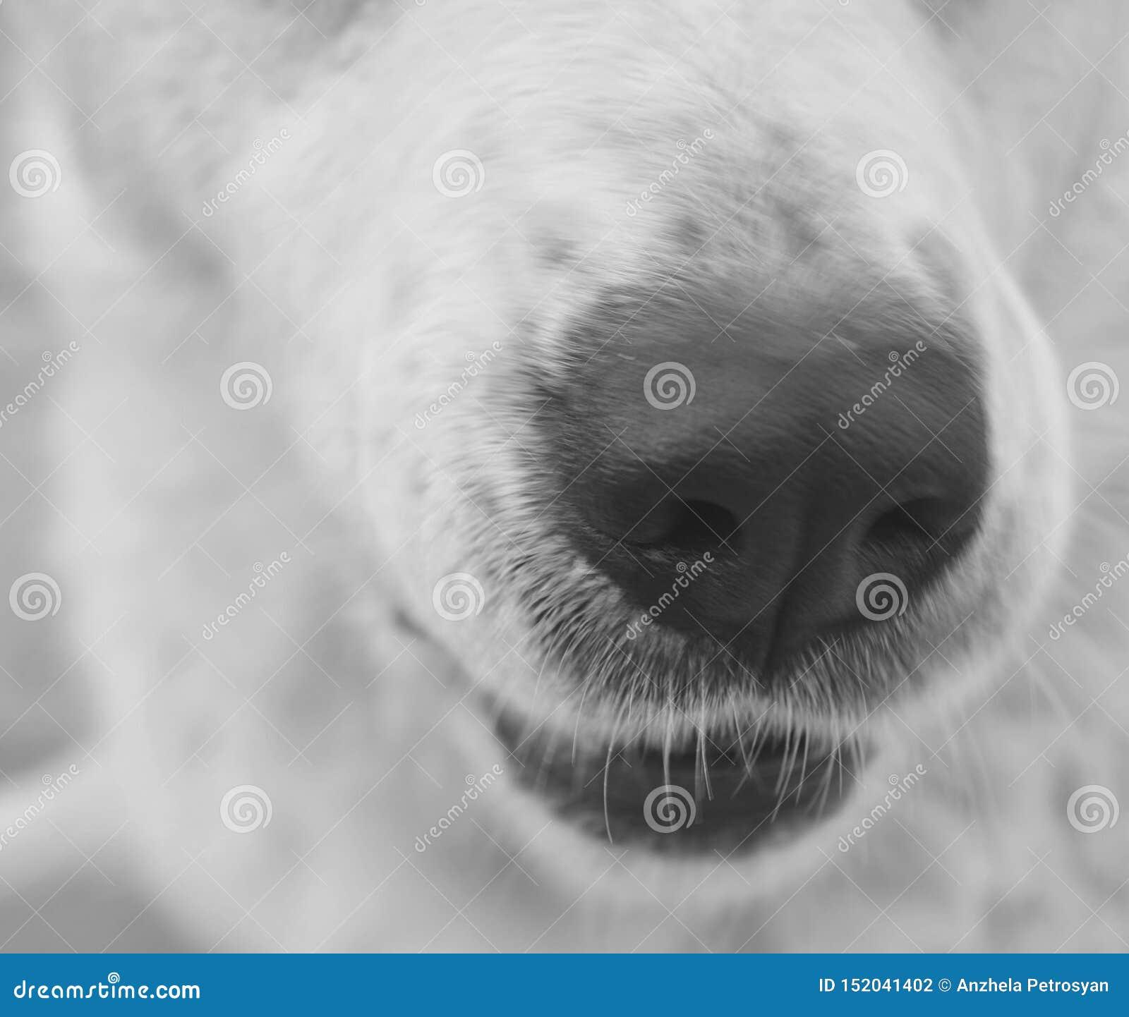 White dog nose