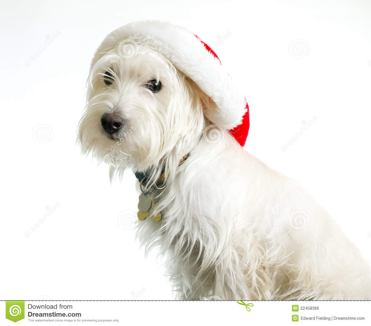 White dog in santa hat stock photo image of canines