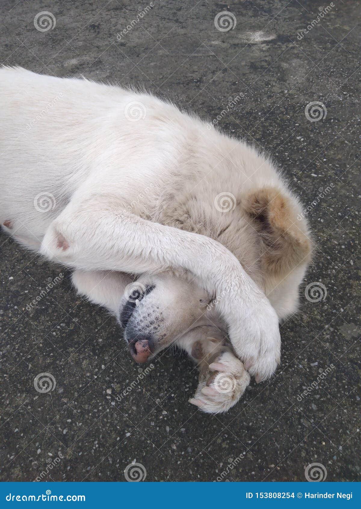 White dog sleeping on the floor