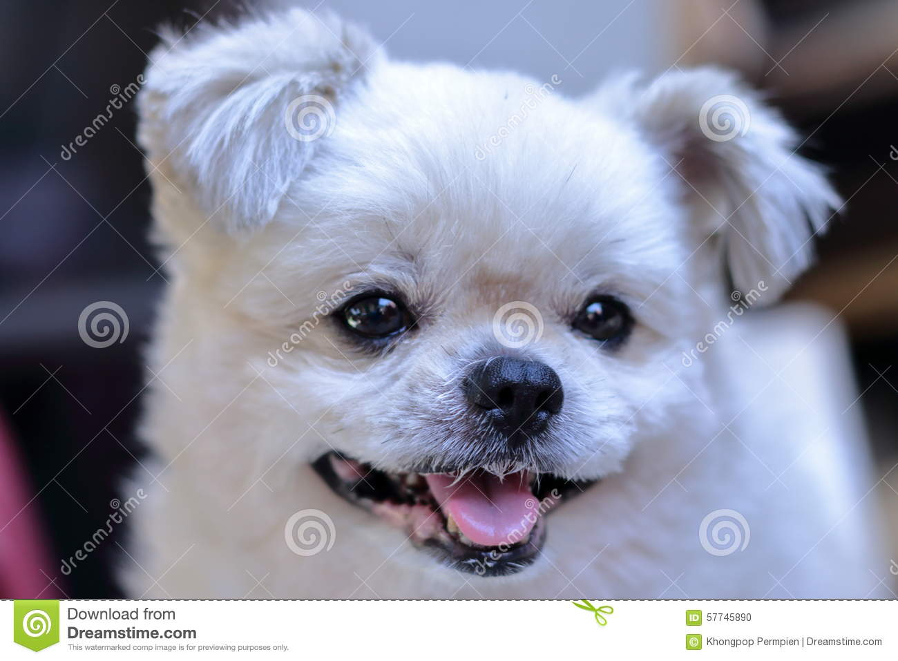 White Dog Smile Stock Photo Image Of Close Grin Looking 57745890