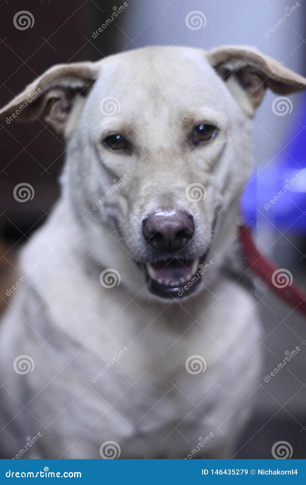 White dog  Straight face