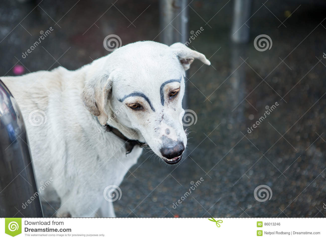 White Dog Was Faking Draw Eyebrows Stock Photo Image Of Street