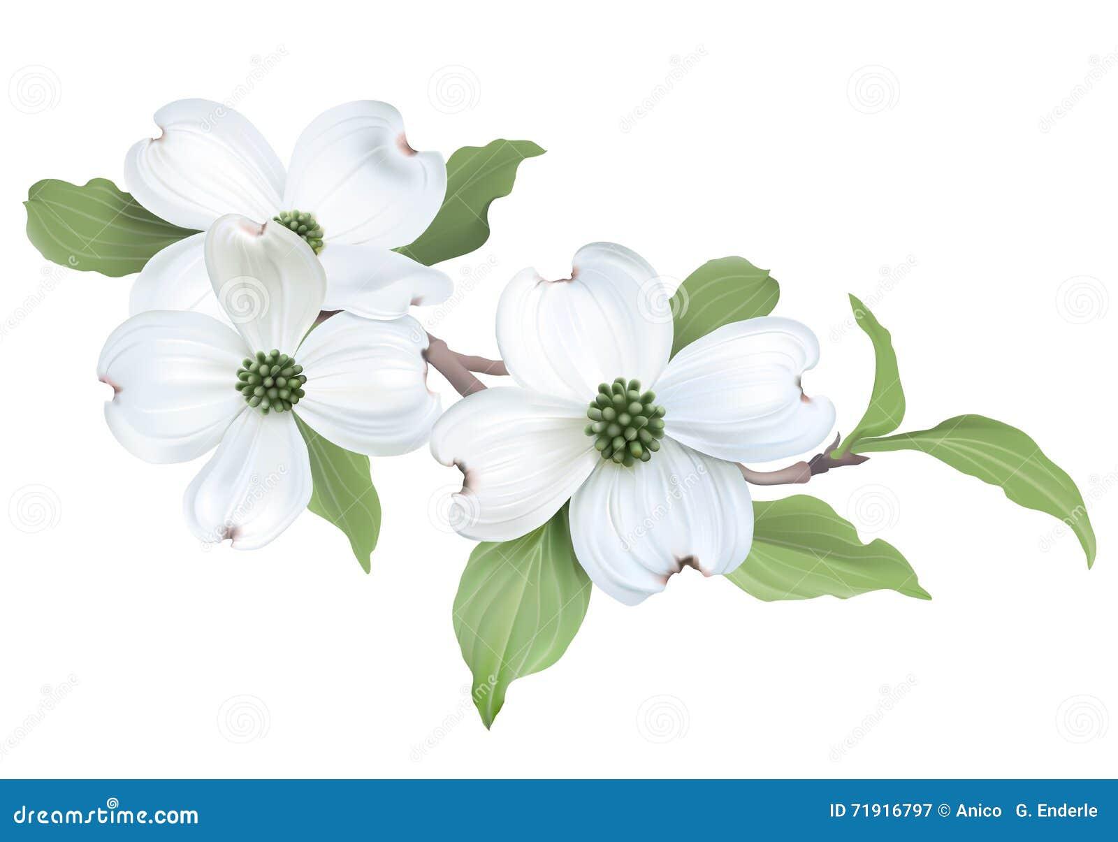 White Dogwood Cornus Florida Stock Vector Illustration Of White