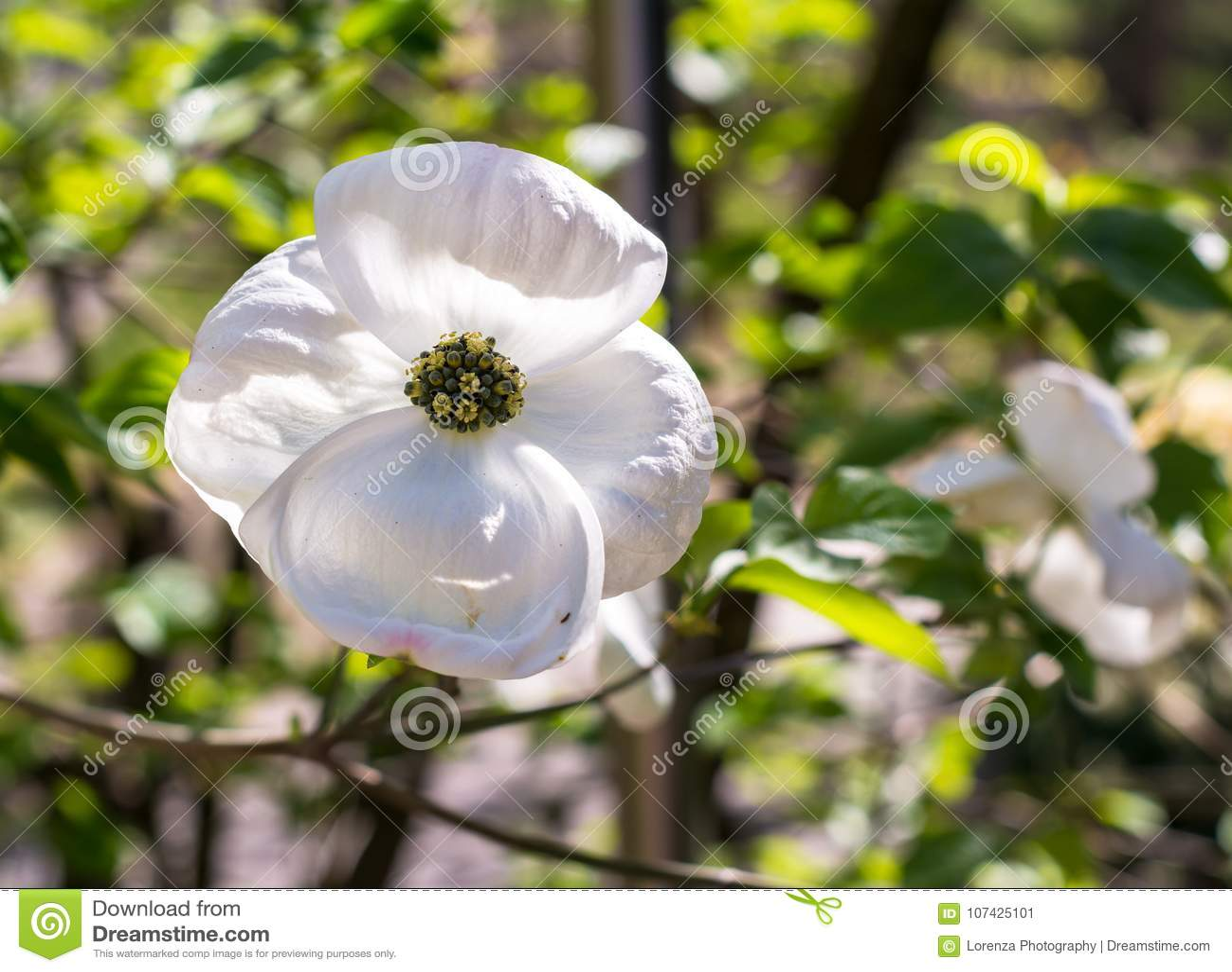 White Dogwood Cornus Florida In Spring Closeup Of Flower Stock