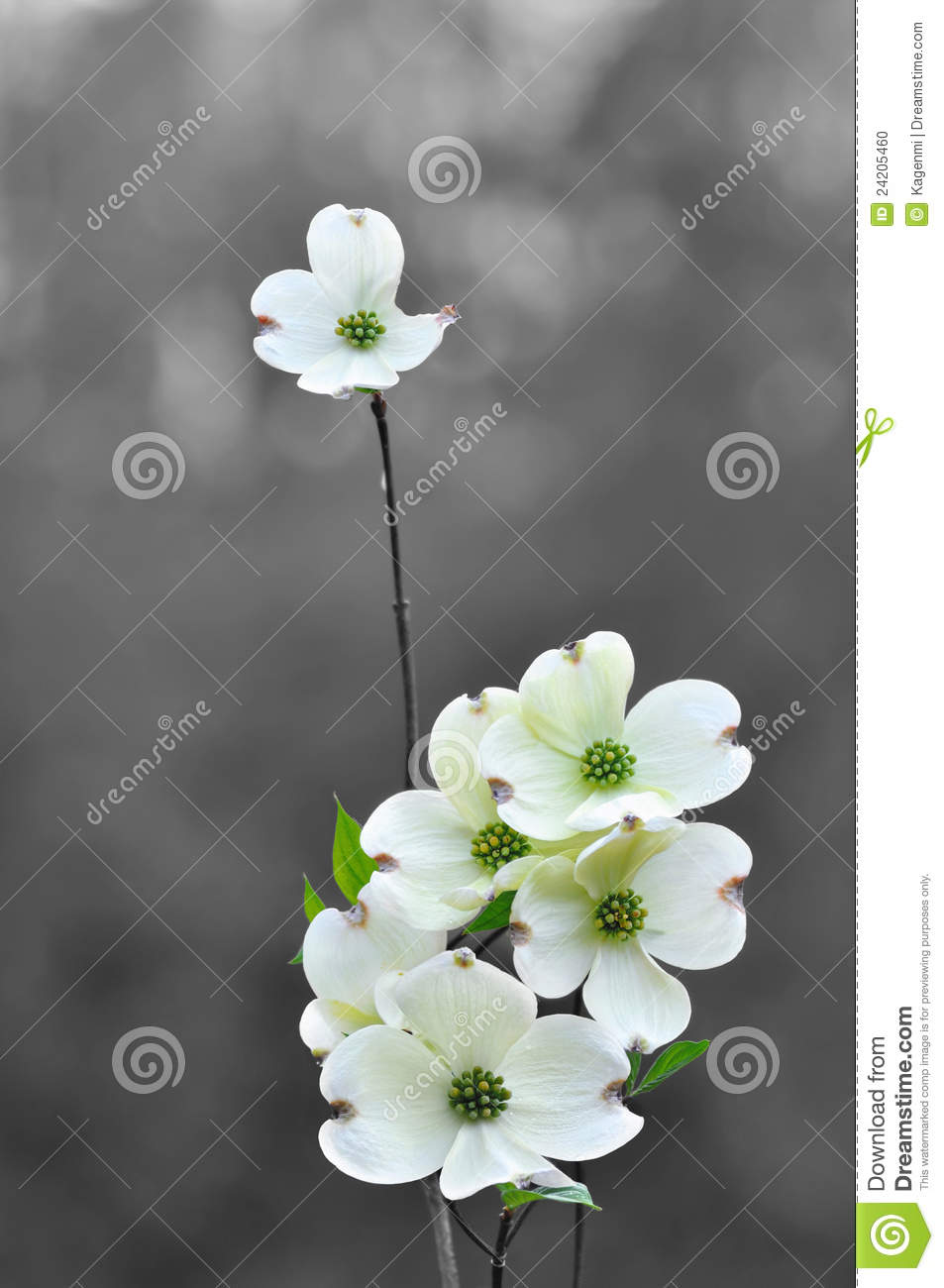 White Dogwood Flowers In Spring Stock Photo Image Of Spring
