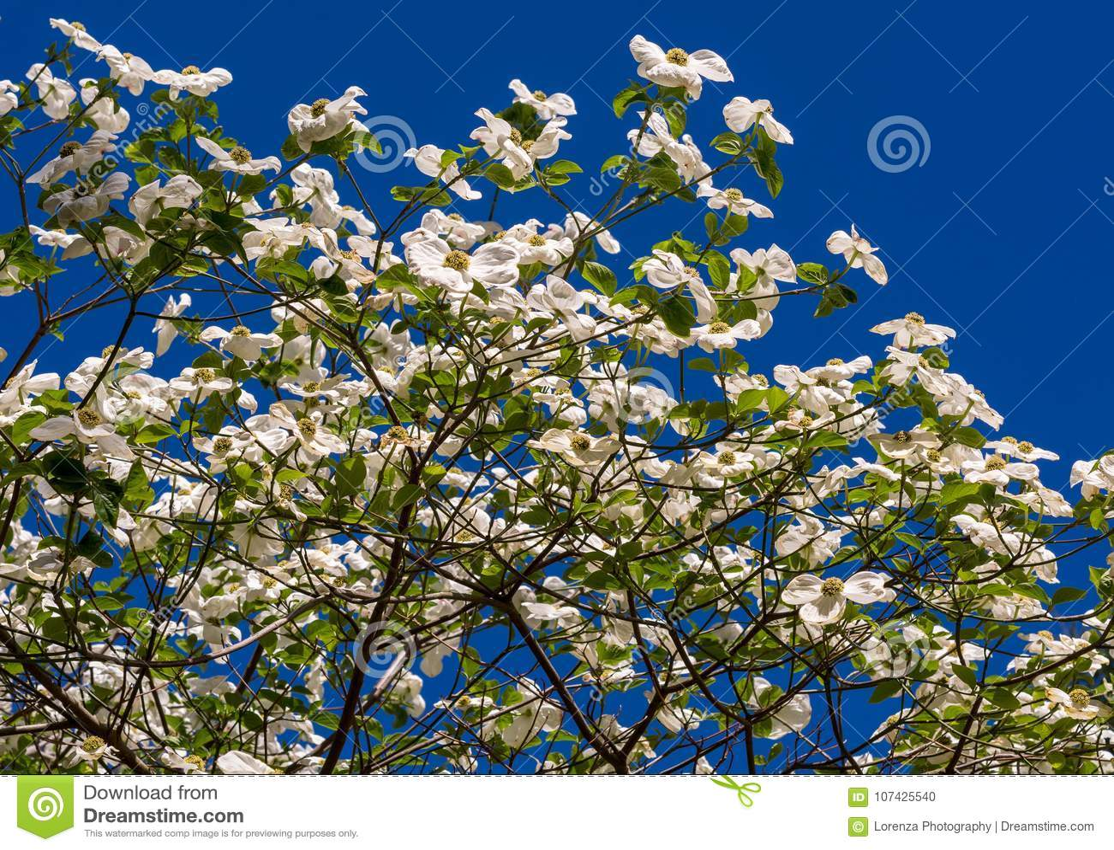 White dogwood tree cornus florida in full bloom in springtime stock white dogwood tree cornus florida in full bloom in springtime flowering dogwood mightylinksfo