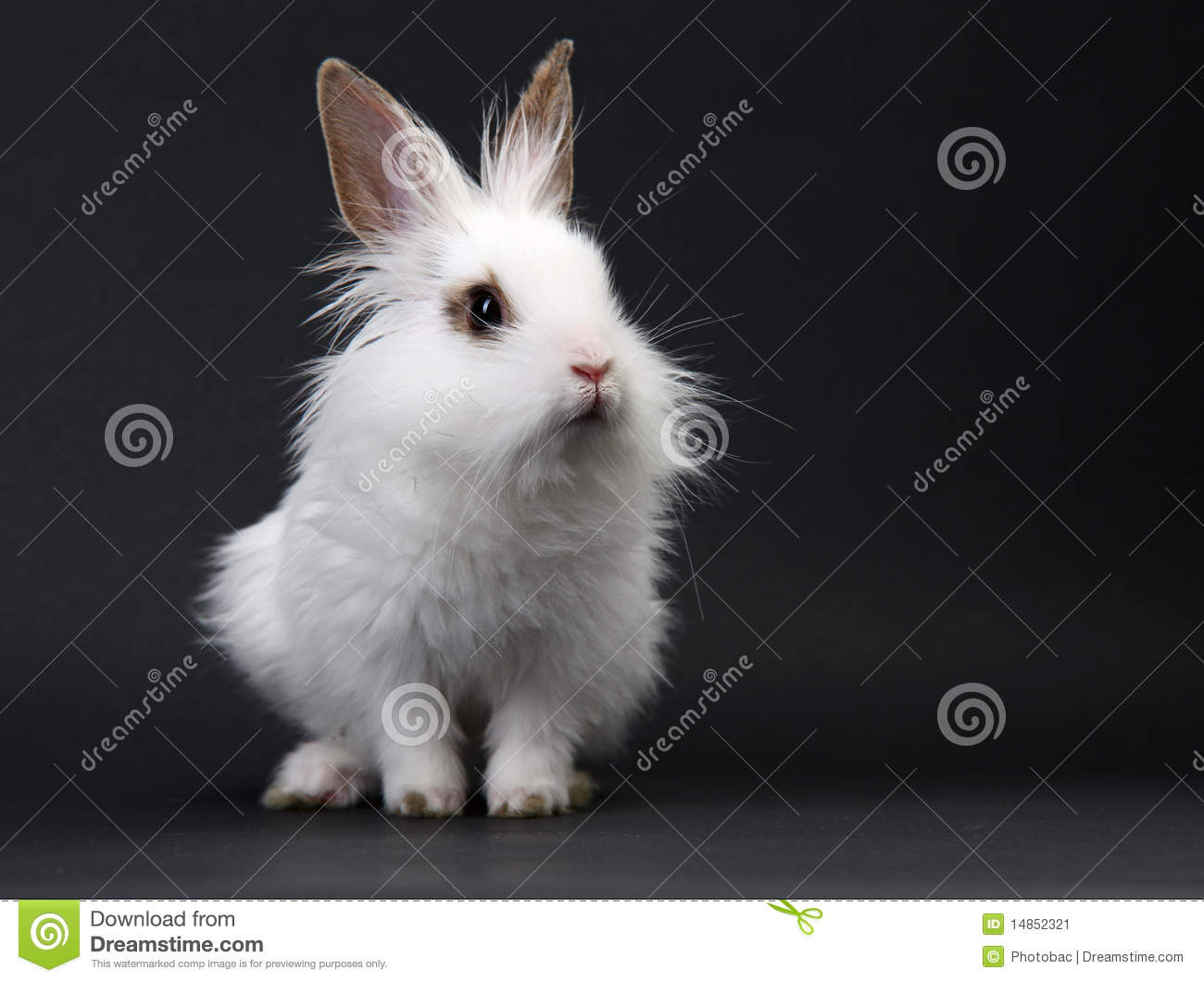 White domestic baby-rabbit