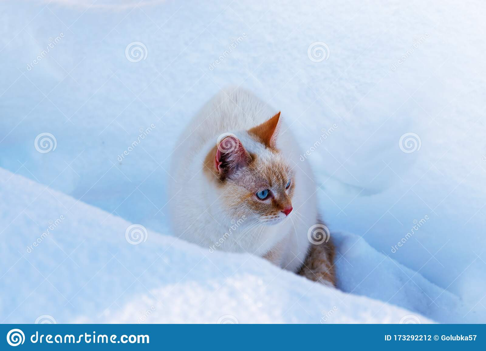 White Domestic Cat With Blue Eyes In The Snow In Winter Sitting In A Snowdrift Stock Photo Image Of Cute Blue 173292212