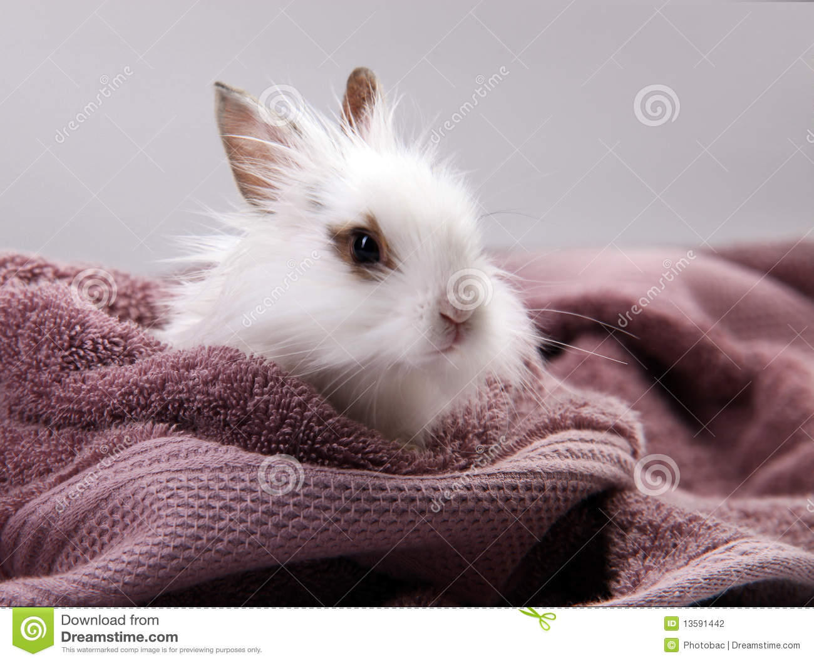 White Domestic Rabbit Nestled in Violet Bath Towel