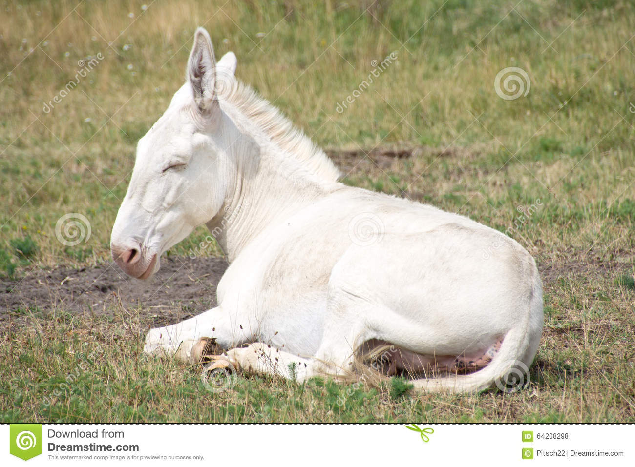 White donkey stock photo image 64208298 for Burro blanco