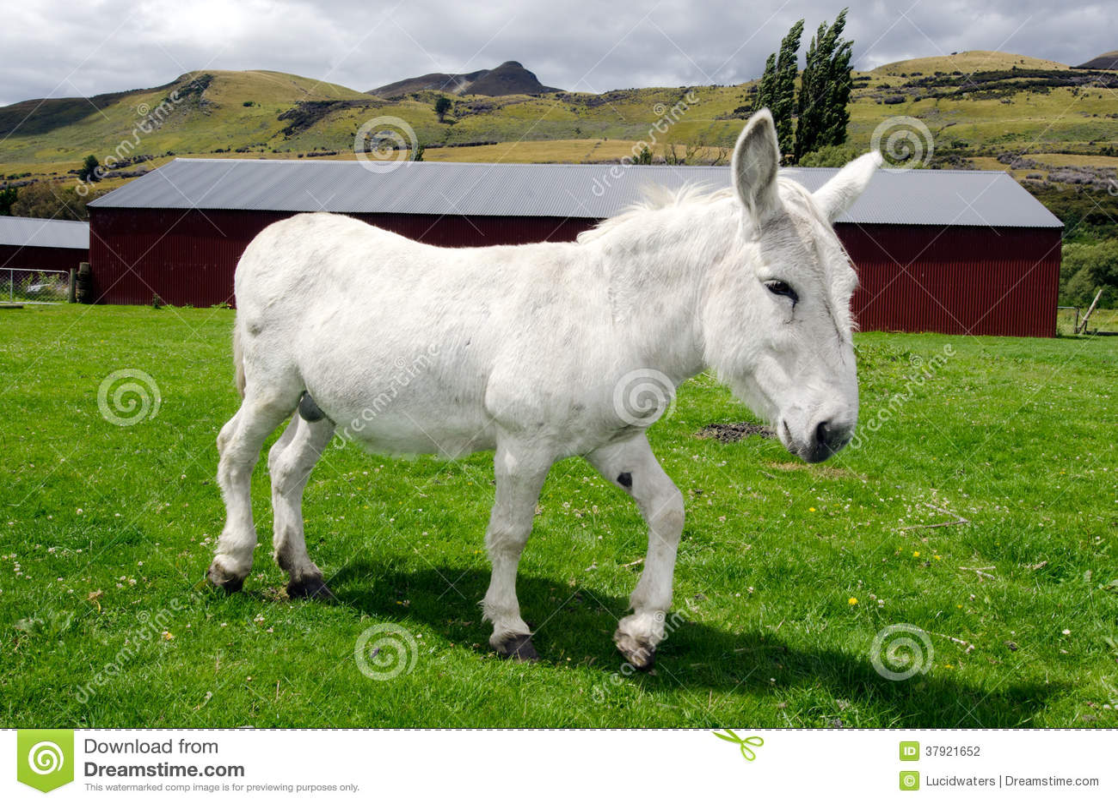 White Donkey Stock Photography Image 37921652