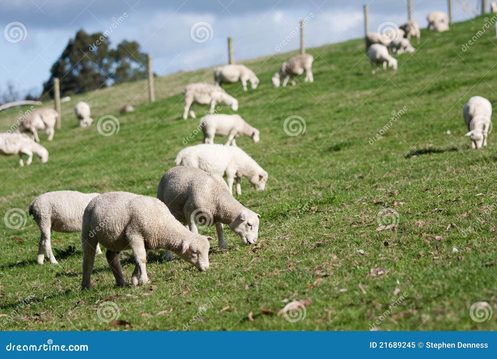 White sheep herd - photo#6